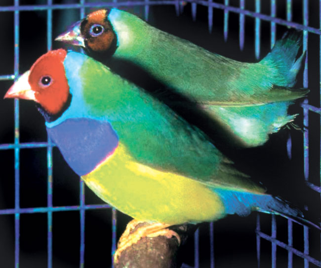 Lady Gouldian finches are dimorphic with the male in front showing the most and brightest color