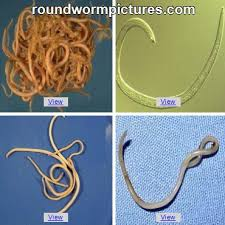 Hookworms and Roundworms in Puppies