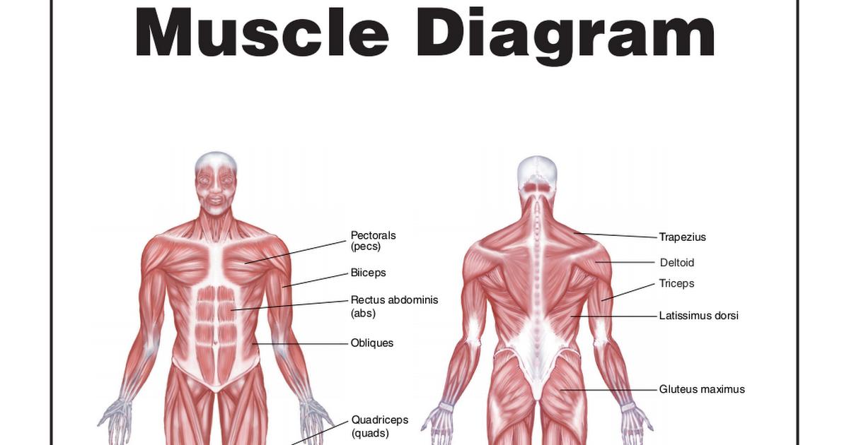 Muscle Diagrampdf Google Drive
