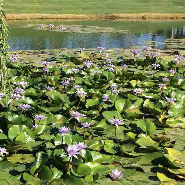 rsz_pond_lilies_1.jpg