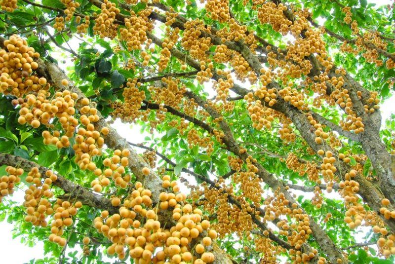 Dâu Hạ Châu chín vàng rộ tại vườn trái cây Phong Điền