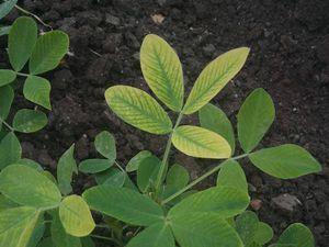 Resultado de imagem para deficiencia de manganes nas plantas