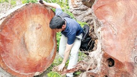PV Tiền Phong tiếp cận bãi tập kết thứ nhất, được cho là những cây bị sâu mọt phải chặt bỏ. Ảnh: PV.