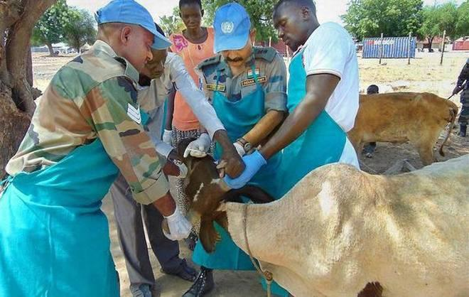 Keeping bovines safe: An Indian Army doctor, posted as a U.N. peacekeeper, treats a cow in Bor, South Sudan. PTI