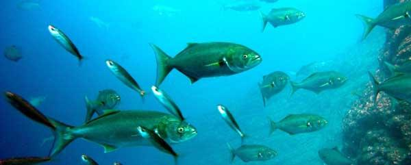 G:\Nova pasta (2)\Peixes\-Anchova\Bluefish-Pomatomus-Saltatrix-Featured-Image-min.jpg