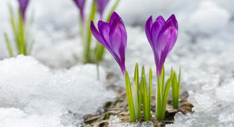 crocus blooming in snow patch