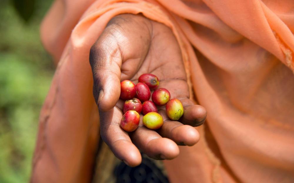 granos de café en Africa
