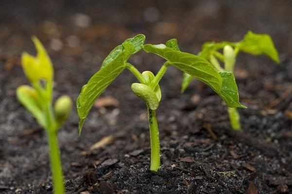 tác dụng của tinh chất mầm đậu nành đối