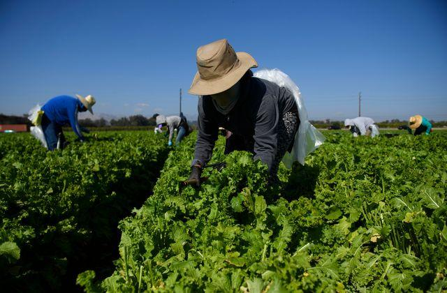Farmworkers wear face masks while harvesting curly mustard in a field on February 10, 2021 in Ventura County, California. - The United Farm Workers (UFW) union is urging state and local governments to greater prioritize Covid-19 vaccines for farmworkers and perform outreach activities to help workers who often lack technology access to sign up for vaccinations. Essential workers in agriculture and meatpacking are often subjected to conditions where social distancing is not possible, combined with additional risk factors increasing the community spread of the virus including low wages, multigenerational households, a lack of coronavirus testing, and fear of losing their jobs if they believe they are sick. As of February 10, California has 3,362,981 confirmed cases of Covid-19, with 44,995 deaths according to a state database, which lists Latinos as 55 percent of all cases and 46 percent of all deaths - while only 39 percent of the population. (Photo by Patrick T. FALLON / AFP) (Photo by PATRICK T. FALLON/AFP via Getty Images)