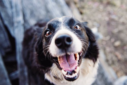 Shallow Focus Photography of Adult Black and White Border Collie