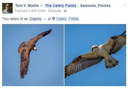 Osprey Feb 2016 - Status - State Species of Special Concern.jpg
