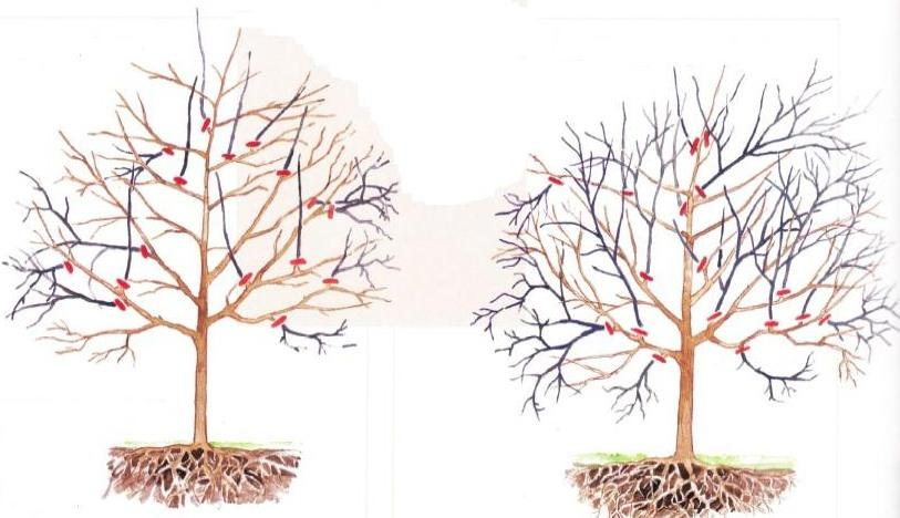 Обрезка старой войлочной вишни. Рассмотреть основные особенности