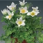 Pinwheel White