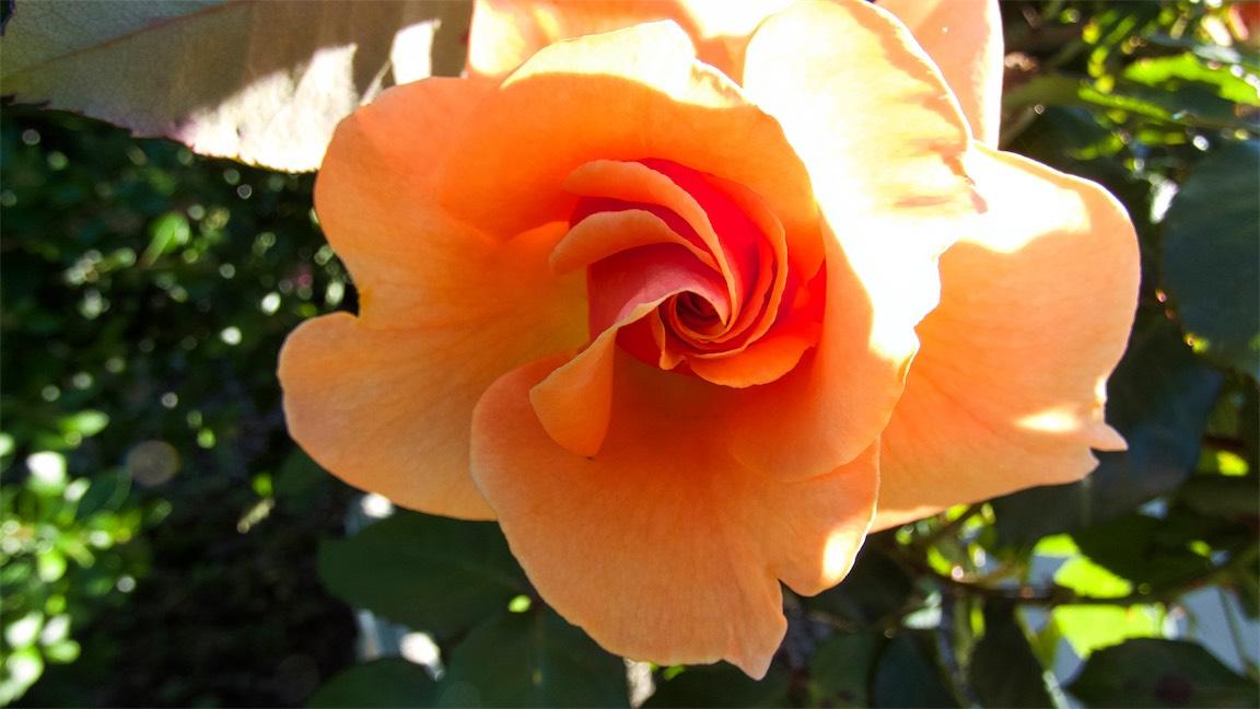 Apricot swirl.jpg