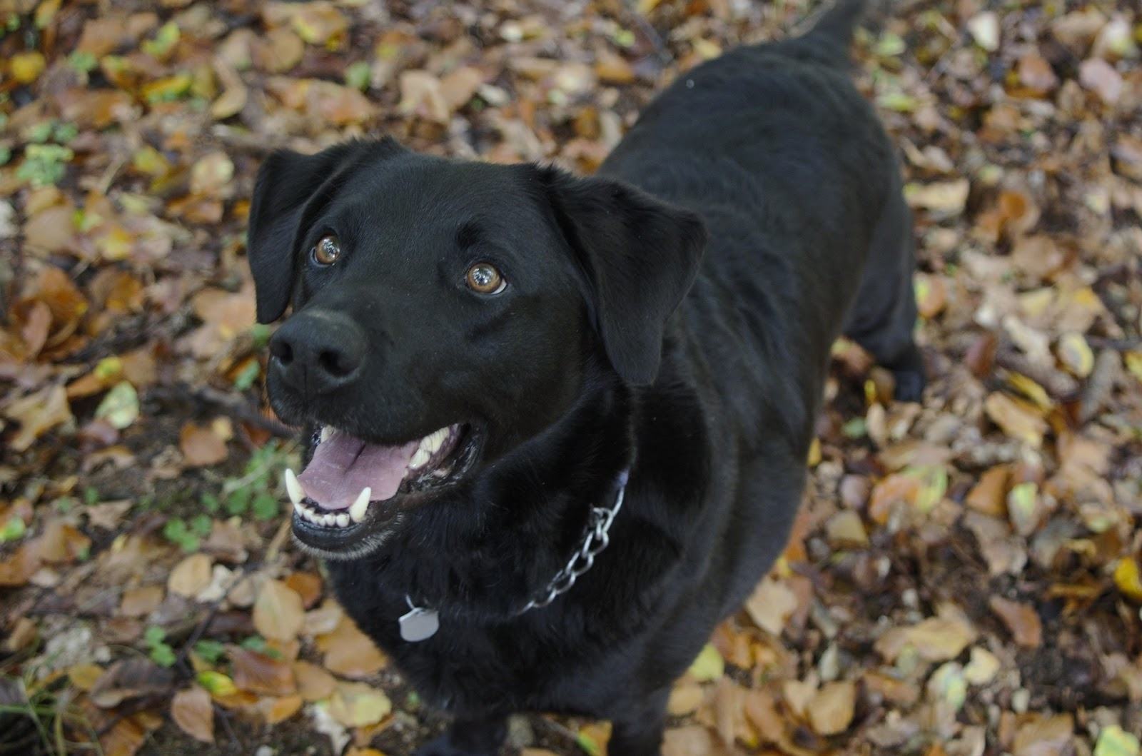 black dog smiling with tag on collar