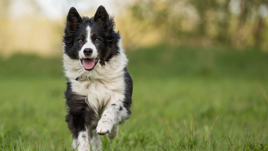 border collie là giống chó nhiều năng lượng