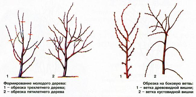 Формирование молодого дерева. Обрезка на боковую ветвь