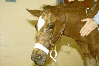 Foal with respiratory distress secondary to acute interstitial lung disease.
