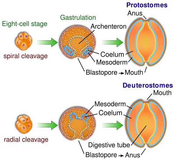 Protostomes and Deuterostomes