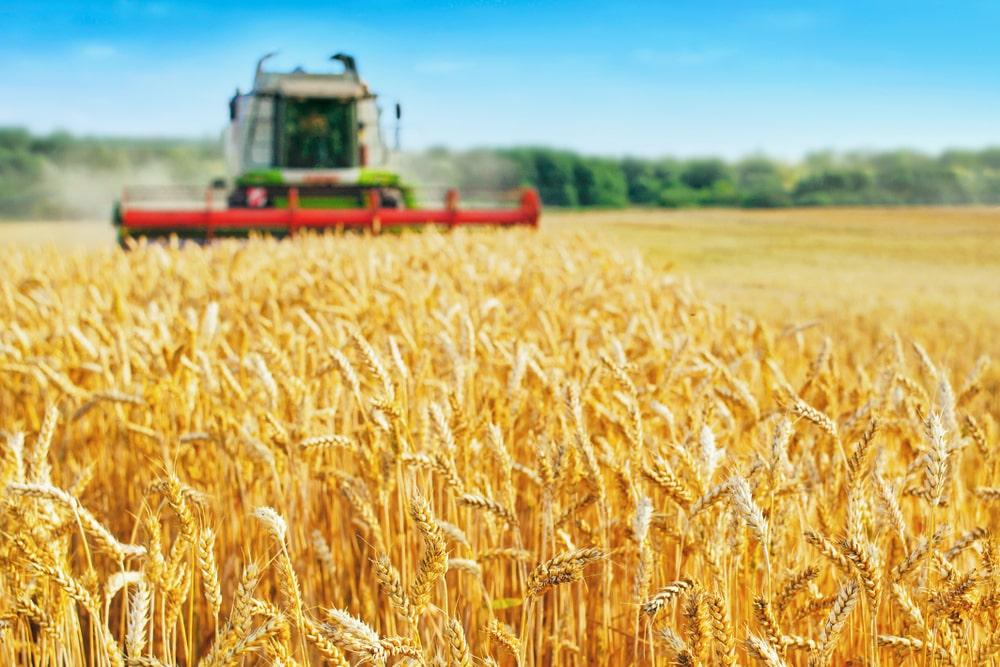 Colheita menor no Rio Grande do Sul e no Paraná provocou alta do valor do trigo no mercado nacional. (Fonte: Shutterstock/Aleksandr Rybalko/Reprodução)