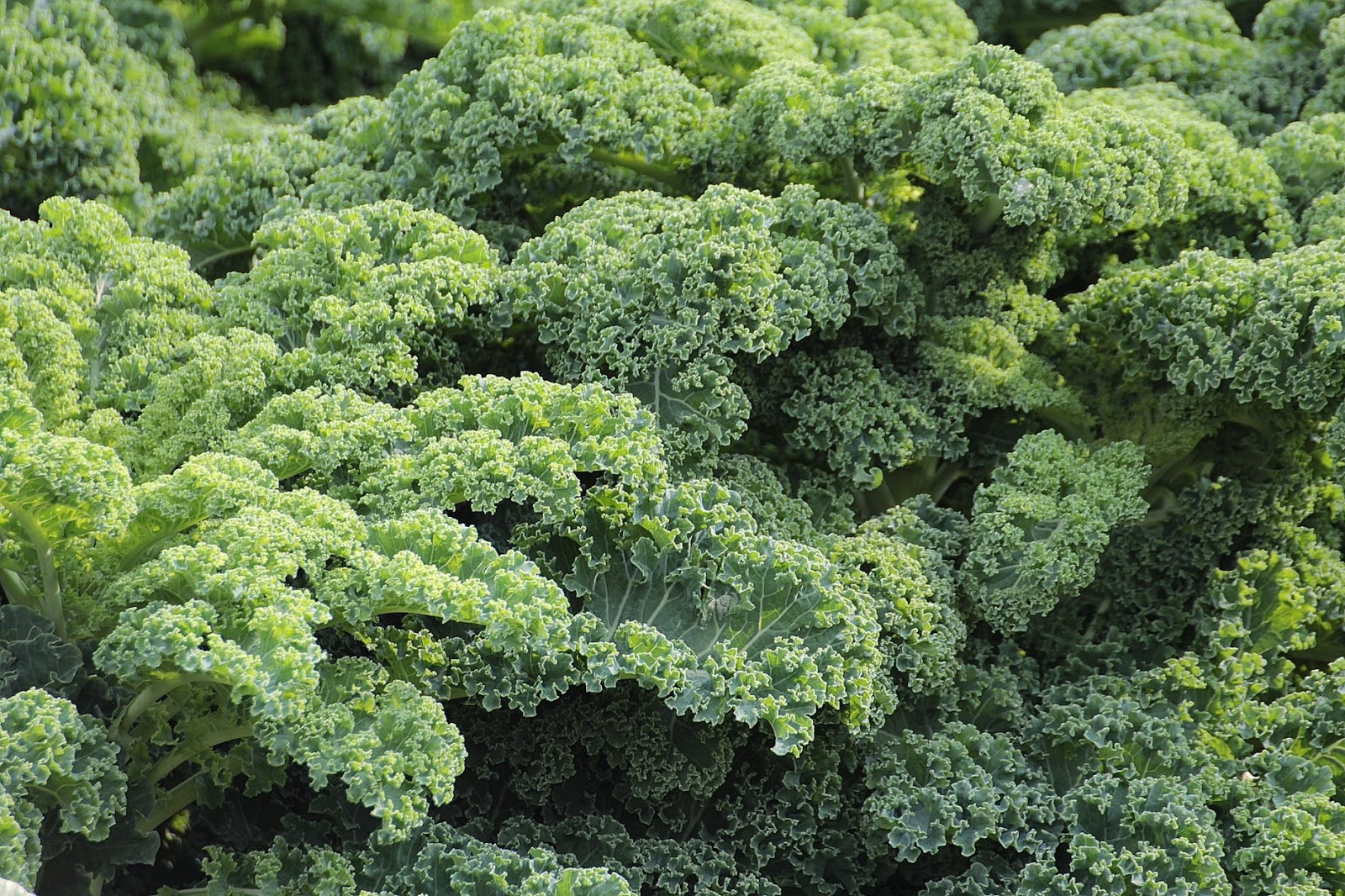 This image has an empty alt attribute; its file name is kale-vegetables-brassica-oleracea-var-sabellica-l-51372.jpeg