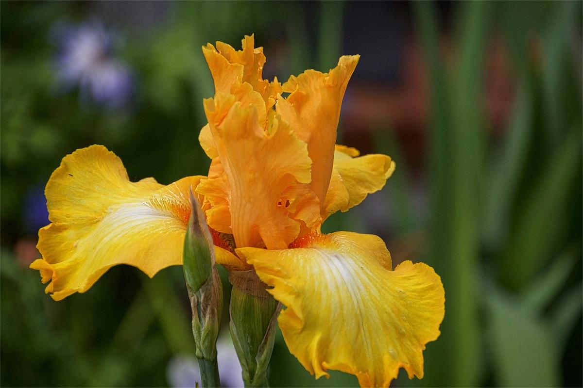 Ragtop Iris 2.jpg