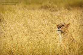 Image result for some  lionesses  hiding in the grass with the elephant