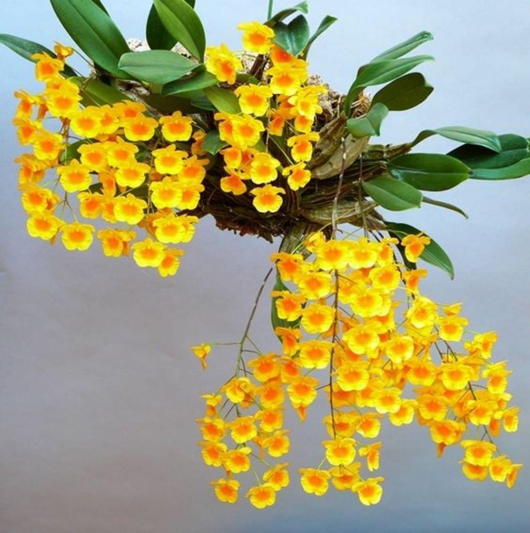 Hoa phong lan với màu vàng nổi bật