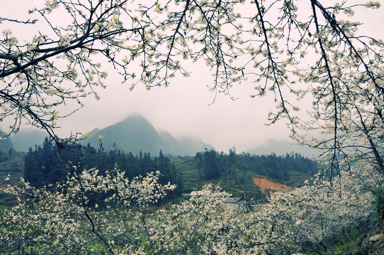 Hoa ban thường nở vào tháng 3 hàng năm
