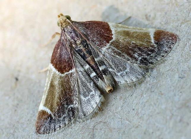 File:Pyralis farinalis01.jpg