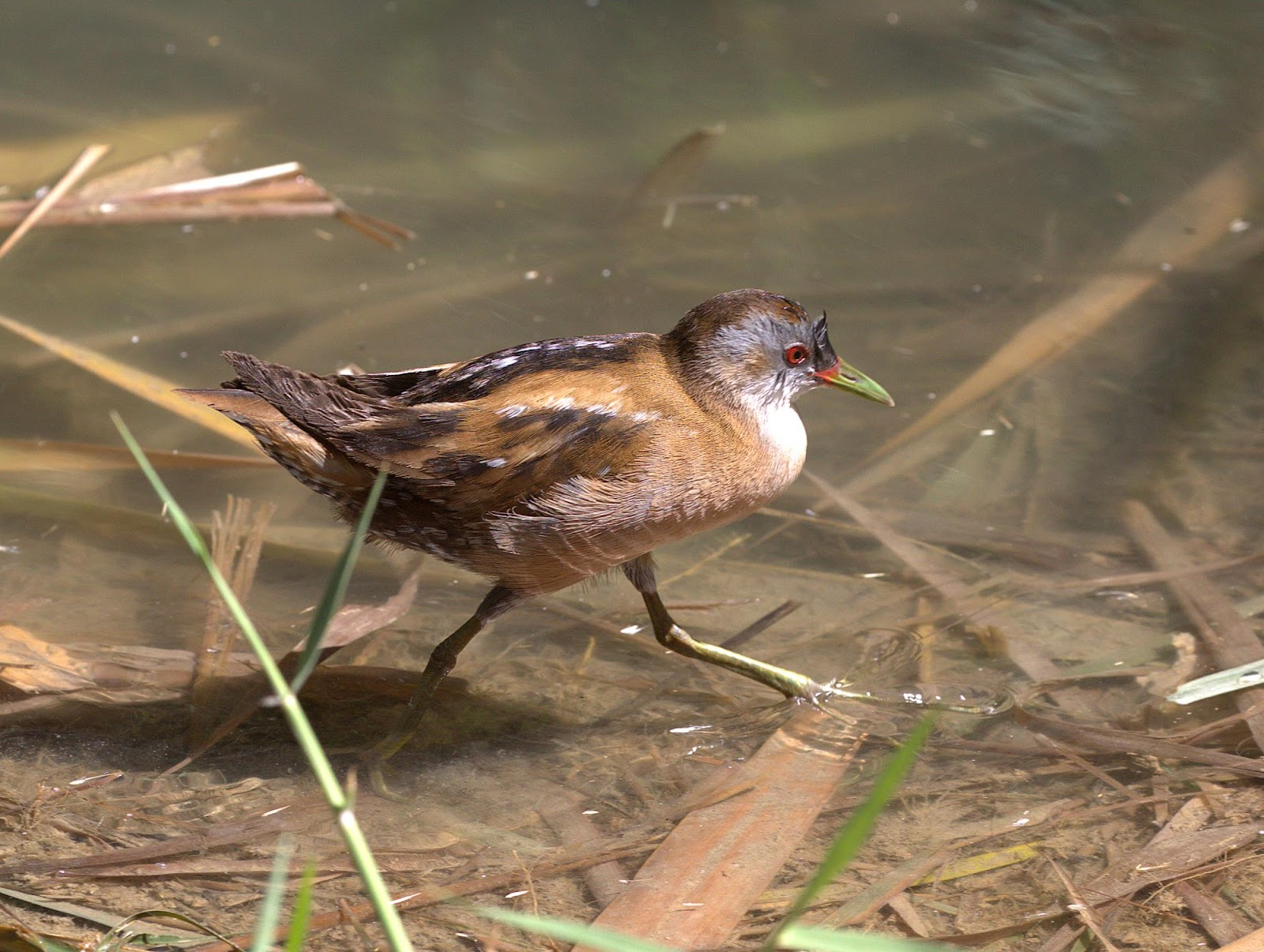 little crake_rsz.jpg
