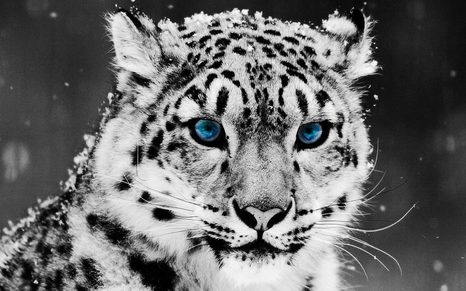 snow-leopard-wallpaper-13.jpg