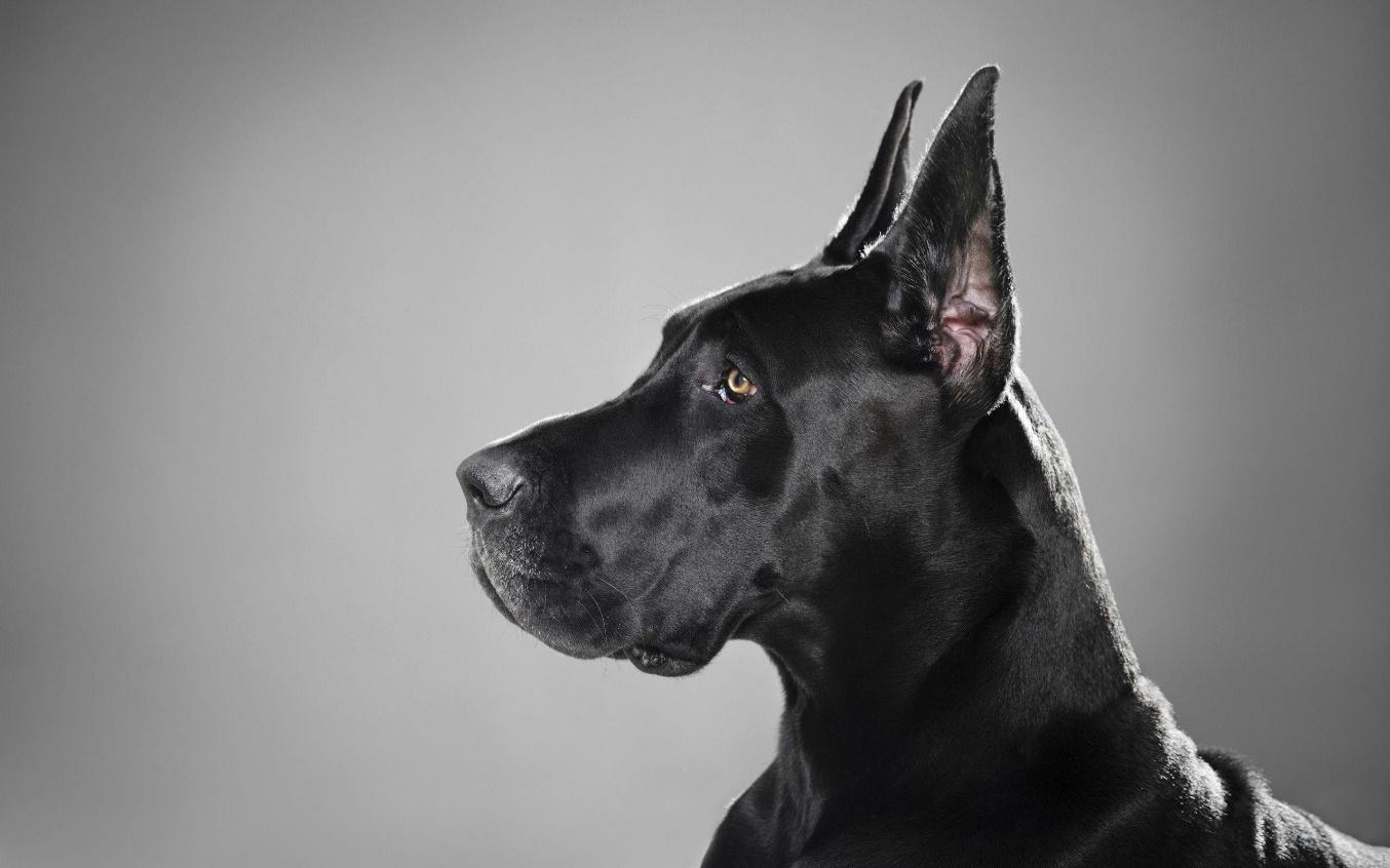Great Dane Wallpapers - Wallpaper Cave