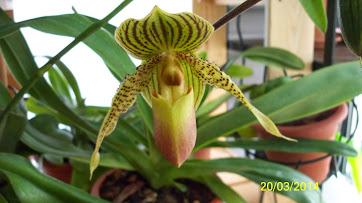 paphiopedilum  rothschildianum x primulinum LArzffyCQb31H1j-nhzc_5eHyidWAmjJVS9IE4troD4=w362-h203-p-no