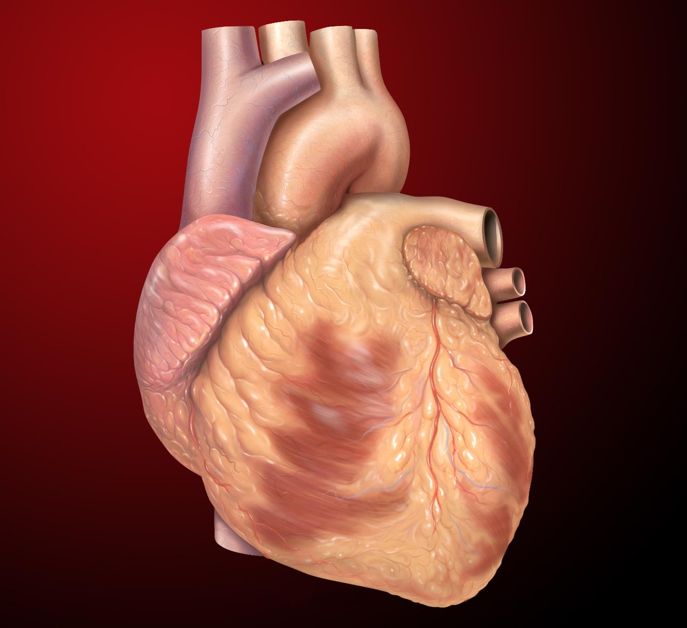 File:Heart anterior exterior ...