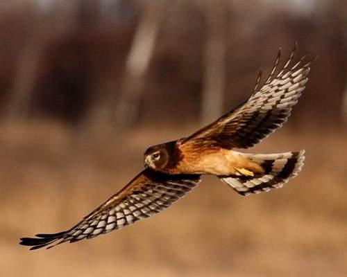 Image result for harrier bird