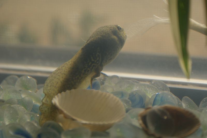 Tadpole in aquarium