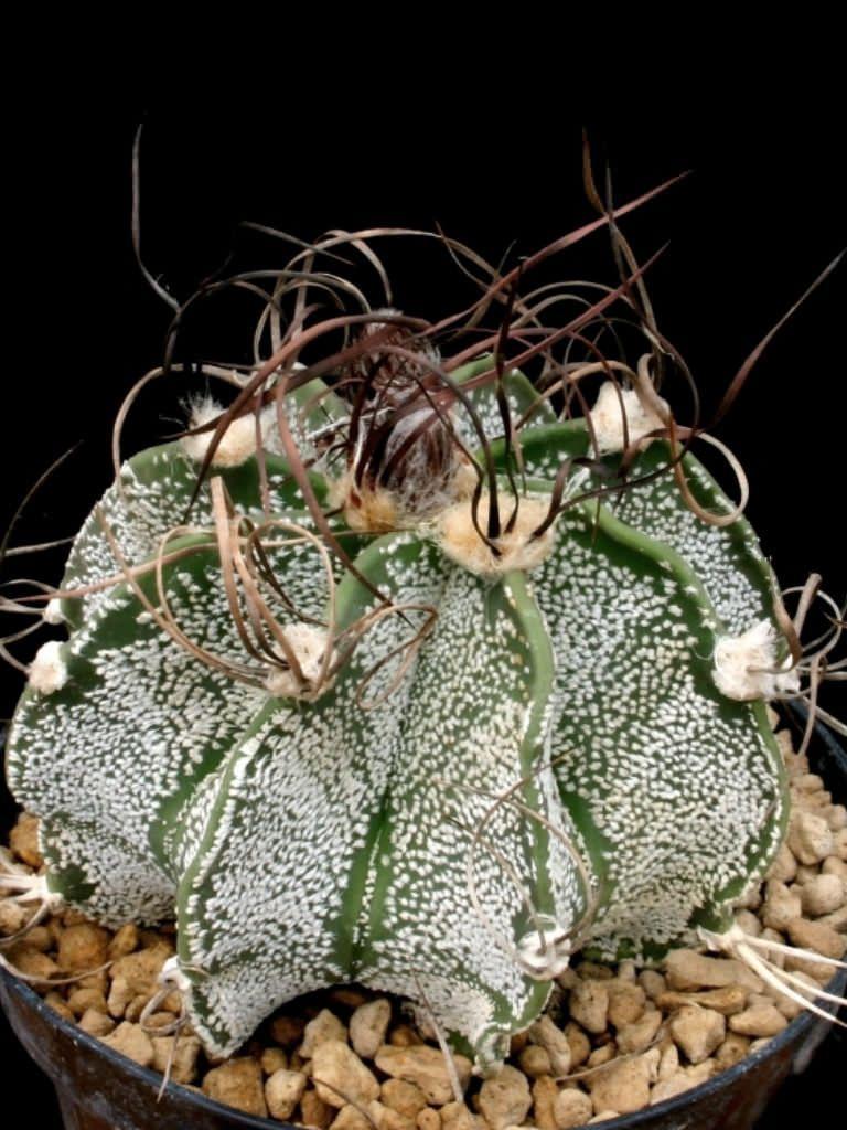 Astrophytum capricorne var. minus (Goat's Horns) | Suculentas ...