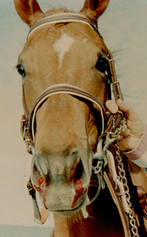Epistaxis in a racehorse (From: Fedde MR) [70].
