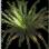 silkhoneygrass.png