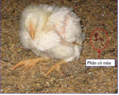 Một số bệnh thường gặp ở gà con