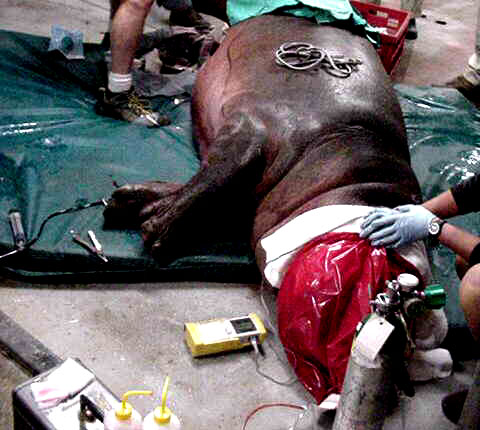 A young female hippopotamus has been immobilized to treat an actively bleeding leg wound.