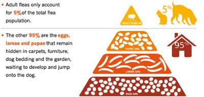 flea-life-cycle-pyramid.jpg