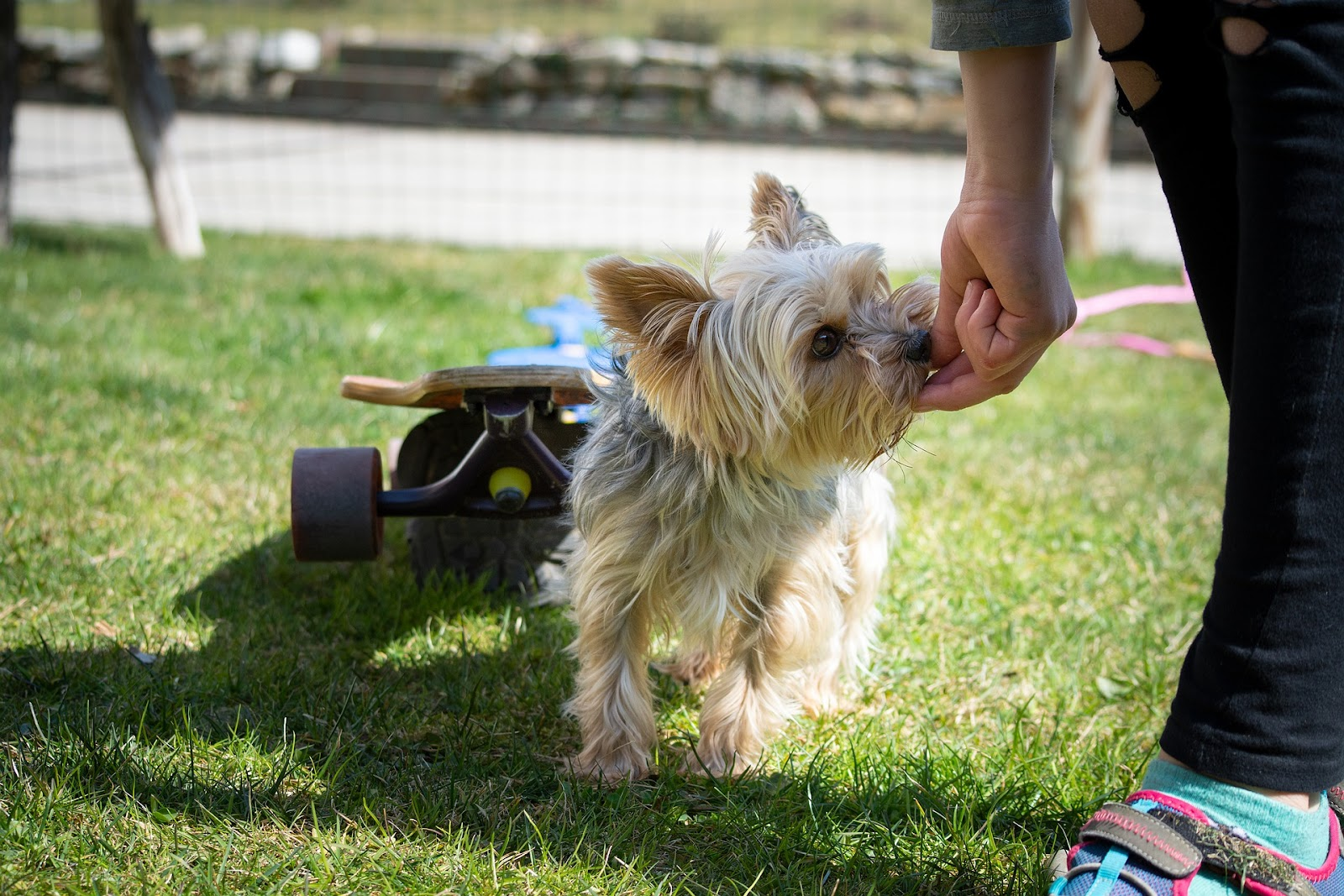 small yorkie dog touching owner's hand with his nose