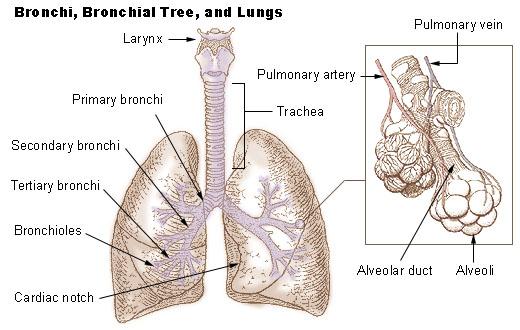bronchi_lungs.jpg