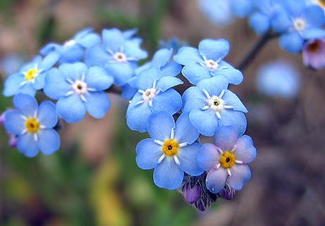 Незабудки цветы, Незабудка цветок