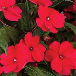 Image result for impatiens sunpatiens spreading carmine red