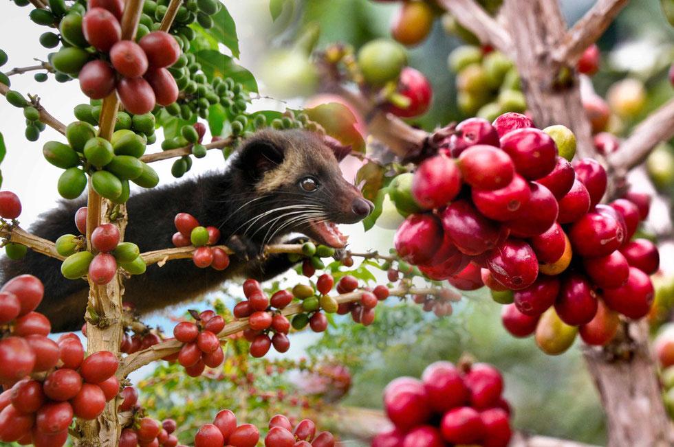 Woher kommt das Luwak im Luwak Kaffee?