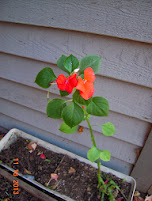 one stalk of impatiens survived the freeze - couldn't bear to kill it when cleaning up