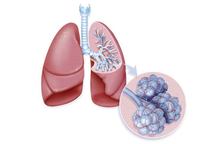 lungs_alveoli-57ffa7fe3df78cbc284e162b